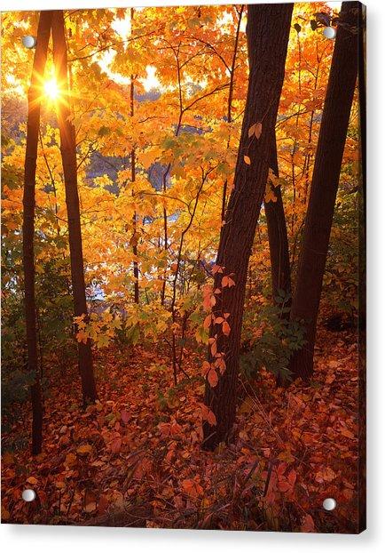 Sugar Maple Sunrise Acrylic Print