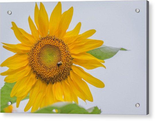 Sunflower And Bee Acrylic Print