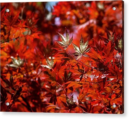 Acrylic Print featuring the photograph Sunlit Japanese Maple by Rona Black
