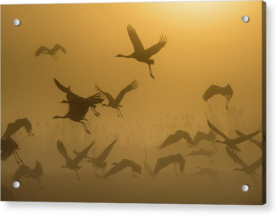 Sunrise With Cranes Acrylic Print