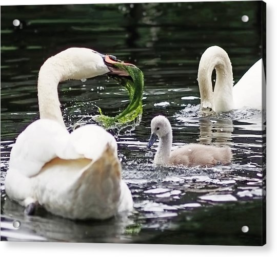 Acrylic Print featuring the photograph Swan Family Meal by Rona Black