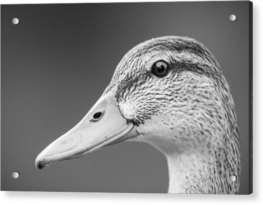 Talk Like A Duck Acrylic Print