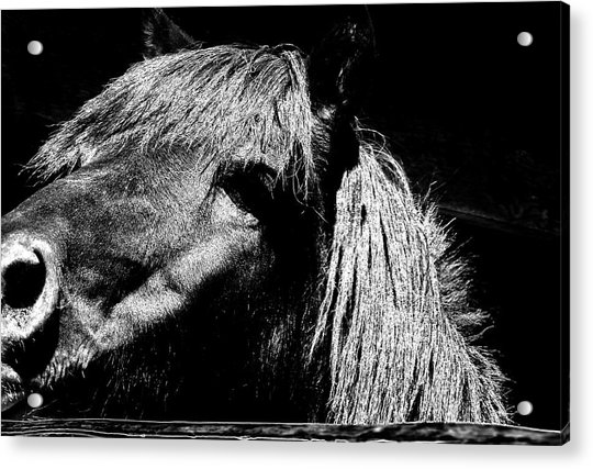 Teton Horse Acrylic Print