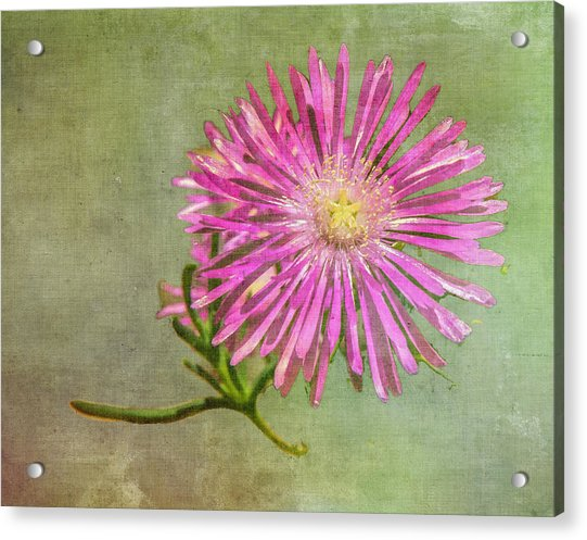 Textured Daisy Acrylic Print