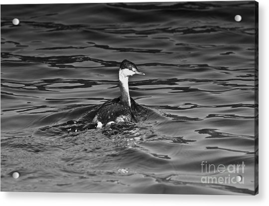 The Curious Grebe Acrylic Print