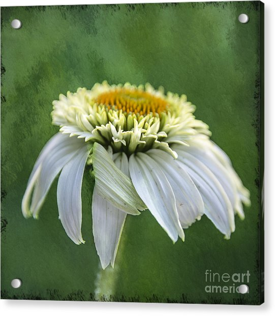 The First Coneflower Acrylic Print