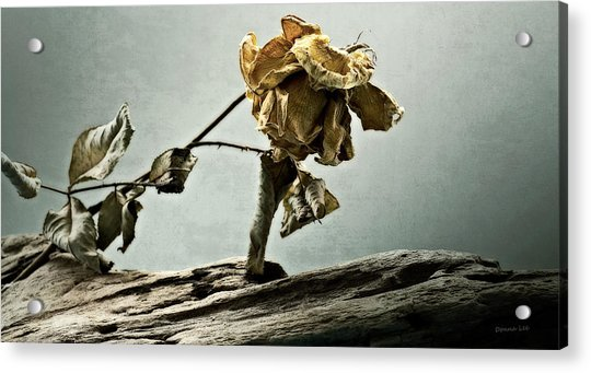 The Last Yellow Rose Of Summer Acrylic Print