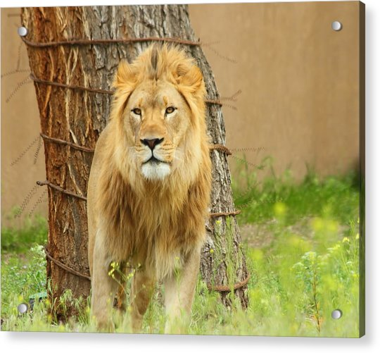 The Lion Acrylic Print by Gene Praag