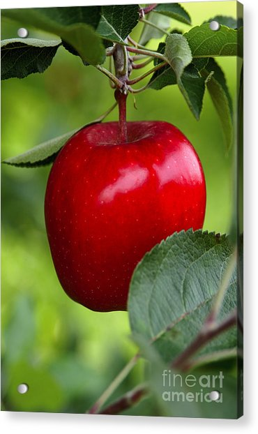 The Red Apple Acrylic Print