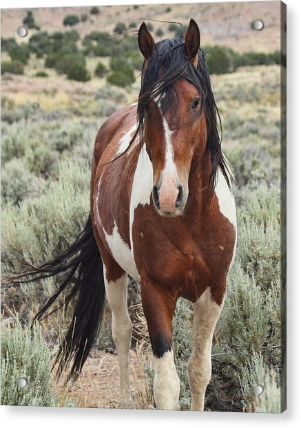The Stallion Acrylic Print by Gene Praag