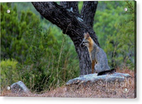 The Watchful Fox Acrylic Print