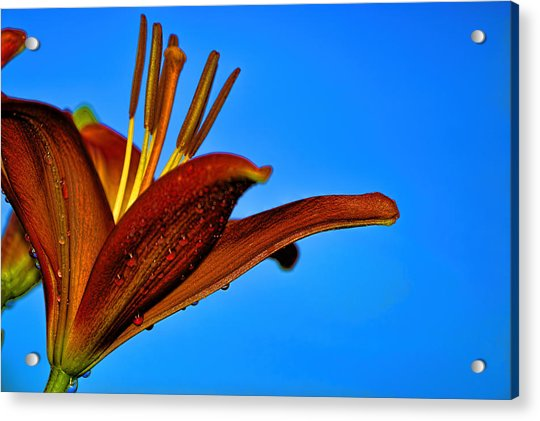 Thirsty Lily In Hdr Art  Acrylic Print