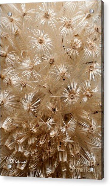 Thistle Seed Head Acrylic Print