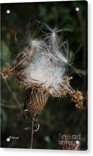 Thistle Seeds Acrylic Print