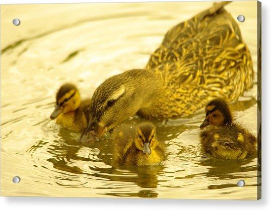 Three Little Duckies And Mom Acrylic Print