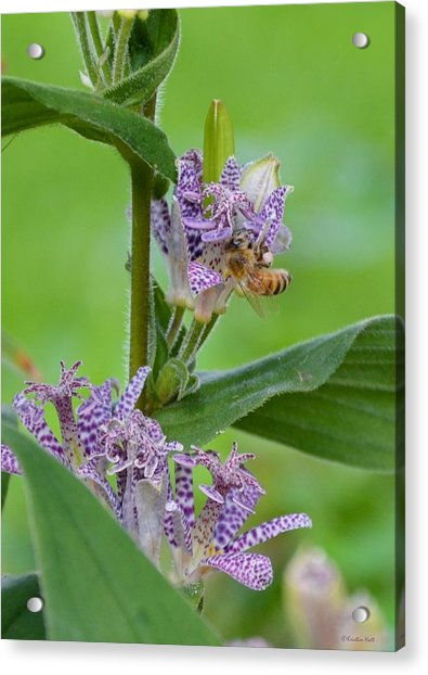 Toad Lily And Hover Fly Acrylic Print