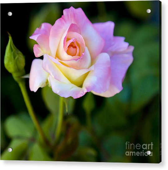 Rose-touch Me Softly Acrylic Print
