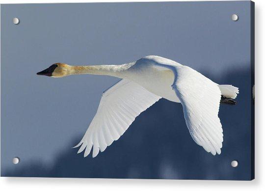 Trumpeter Swan, Winter Flight Acrylic Print by Ken Archer