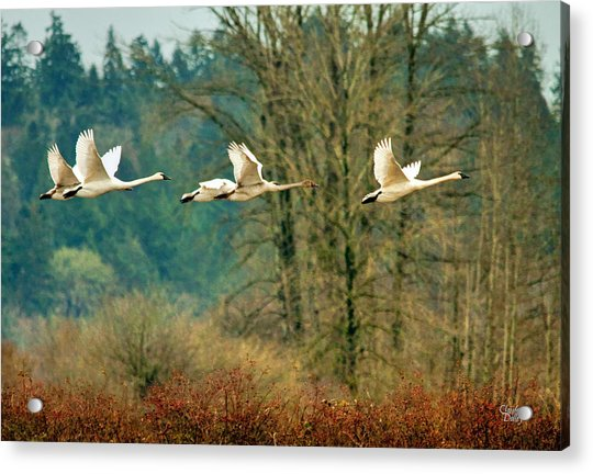 Trumpeters Five Acrylic Print