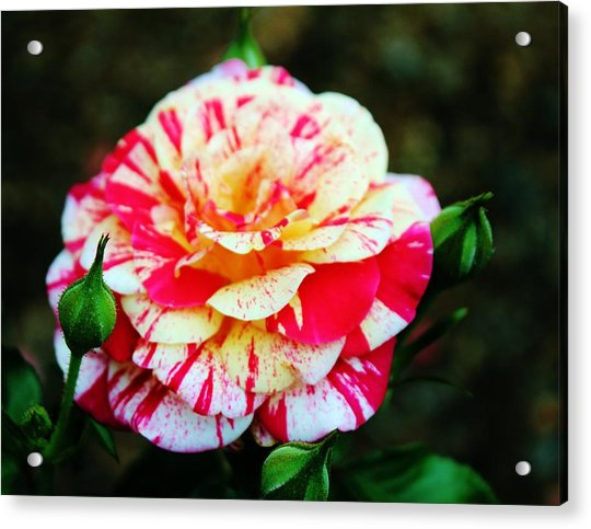 Acrylic Print featuring the photograph Two Colored Rose by Cynthia Guinn