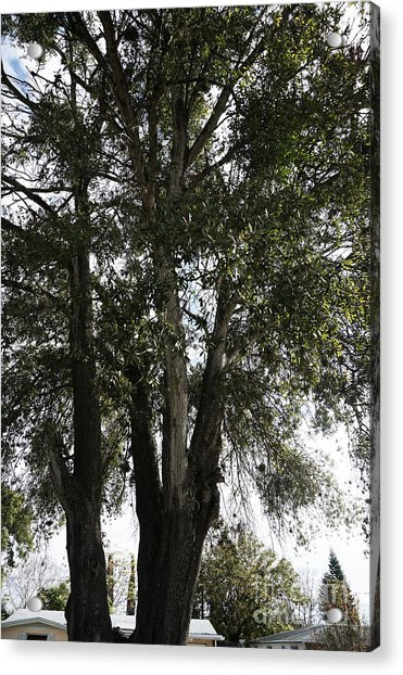 Up-view Of Oak Tree Acrylic Print