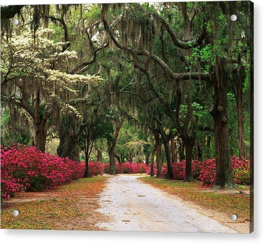 Usa, Georgia, Savannah, Road Lined Acrylic Print by Adam Jones