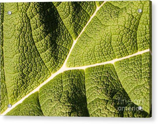 Veins Of A Leaf Acrylic Print