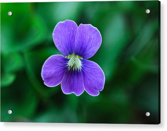 Violet Splendor Acrylic Print