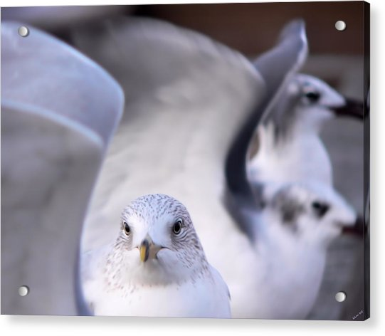Waiting In The Wings Acrylic Print