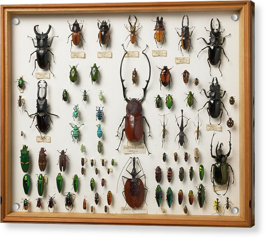 Wallace Collection Beetle Specimens Acrylic Print by Natural History Museum, London/science Photo Library