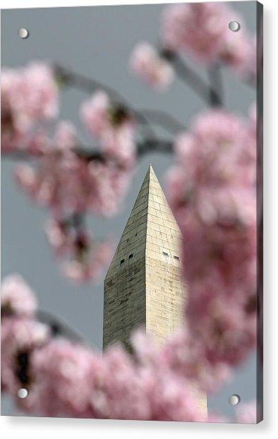 Washington Monument With Cherry Blossoms Acrylic Print