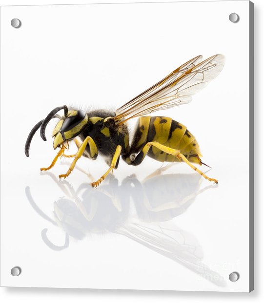 Wasp Isolated  Acrylic Print