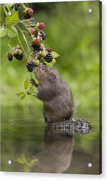 Water Vole Eating Blackberries Kent Uk Acrylic Print