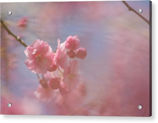 Weeping Cherry Blossoms Acrylic Print