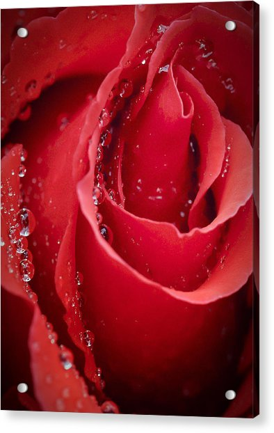 Wet Rose In Mexico Acrylic Print