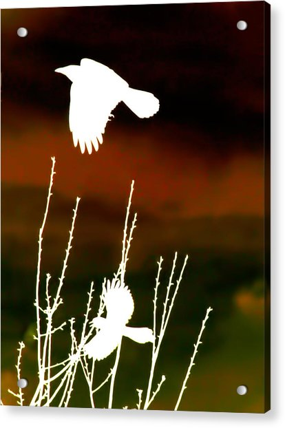 White Crow And The Bluejay Acrylic Print