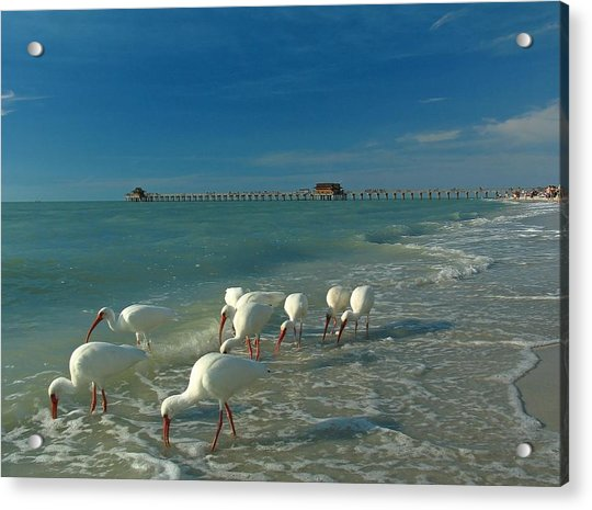 White Ibis Near Historic Naples Pier Acrylic Print