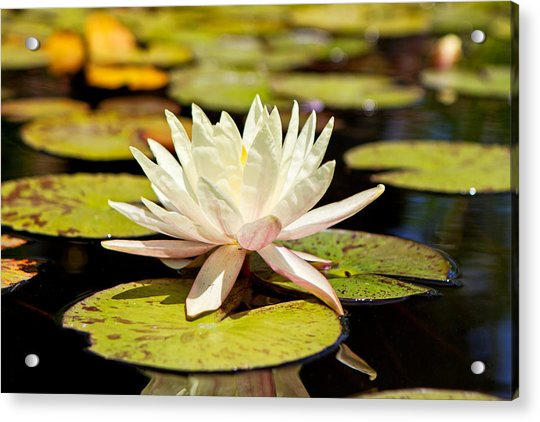 White Lotus Flower In Lily Pond Acrylic Print