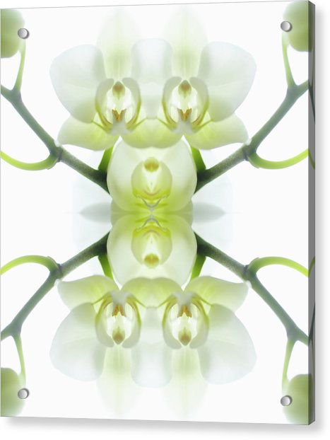 White Orchid With Stems Acrylic Print by Silvia Otte