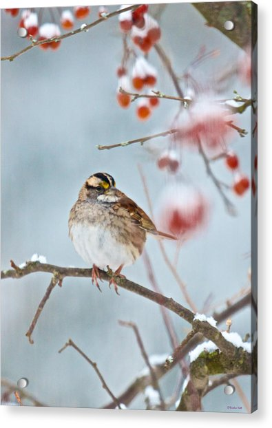 White-throated Sparrow Braving The Snow Acrylic Print