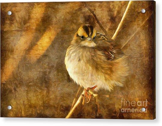 White Throated Sparrow Acrylic Print
