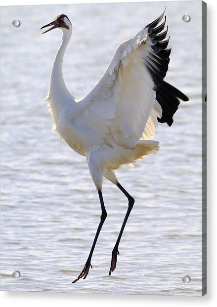 Whooping Crane - Whooping It Up Acrylic Print