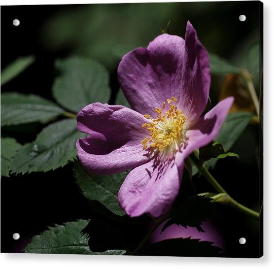 Acrylic Print featuring the photograph Wild Rose by Rona Black
