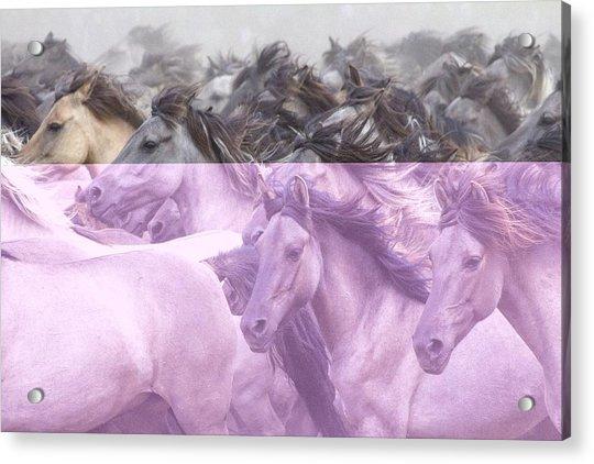 Wildpferde Acrylic Print
