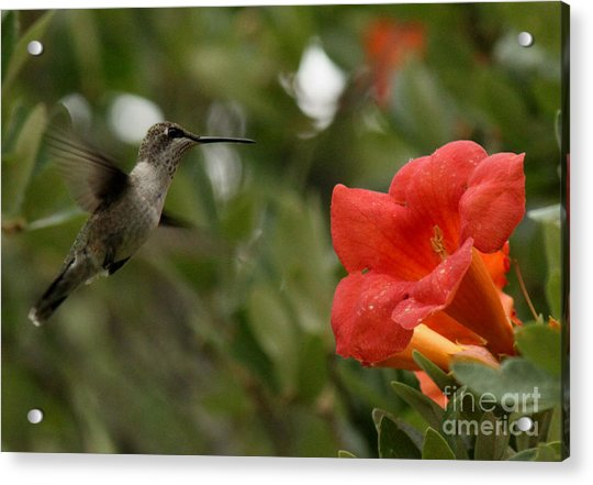 Winged Sipper Acrylic Print