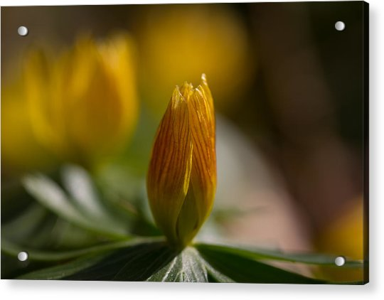 Winter Aconite Acrylic Print