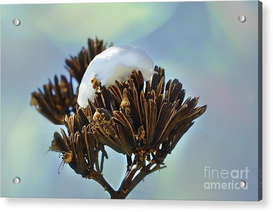 Winter Agave Bloom Acrylic Print
