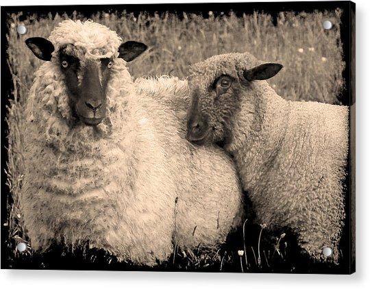 Wooly Love Acrylic Print