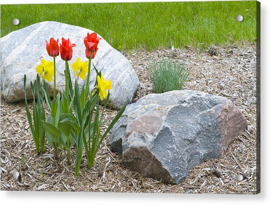 Yellow And Red Tulips With Two Rocks Acrylic Print