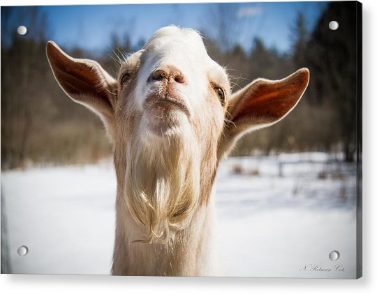 'yoda' Goat Acrylic Print